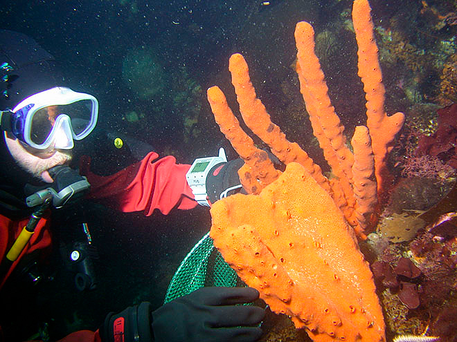 USF Researcher Alan Maschek collects sea sponges (Photo: Bill Baker)